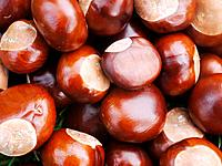 Many conkers or chestnuts on the ground