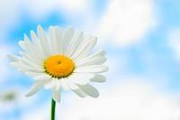 daisy in sky