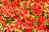 Fragile beauty of spring outdoors. Full frame image of blooming red azalea flowers in botanical garden.