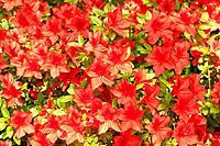 Fragile beauty of spring outdoors. Full frame image of blooming red azalea flowers in botanical garden.