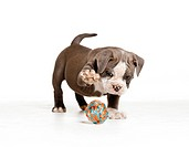 English Bulldog _ puppy _ playing