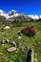 Alps, Alpine rose, alpine rose, mountain, mountain panorama, mountain flowers, mountains, mountain flora, mountain spring, mountain panorama, Bernina,...