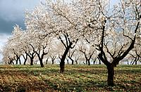 The almond is a small deciduous tree belonging to the subfamily Prunoideae of the family Rosaceae. Major producers of almonds include Greece,Iran,Morc...