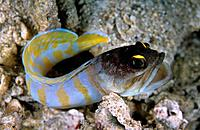 The Gold_specs jawfish,Opistognathus,is a light colored fish with orangish_brown bars on the body,a yellowish_orange tail and orange around its eyes