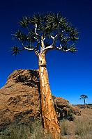 The quiver tree or Kokerboom is indigenous to the hot and dry southern part of Namibia. The plants are succulents and can reach a height of up to 9 me...