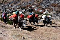 The yak is a sturdy pack animal used on the routes through the foothills of the mountains of Nepal to carry the equipment and camping gear for trekker...