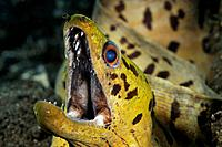 Fimbriated Moray, Gymnothorax fimbriatus, Tulamben, Bali, Indonesia