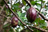 Fruit of Cacao Tree, Theobroma cacao, Los Haitises National Park, Dominican Republic
