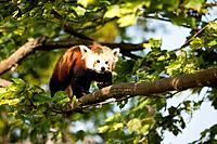 Red Panda, native to the Himalaya region