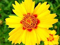 kleine sonnen Blume