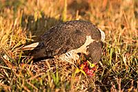peregrine falcon falco peregrinus begins feeding on prey it has captured, montana, united states of america