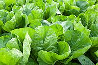 Organic lettuce farm, Aichi Prefecture, Japan
