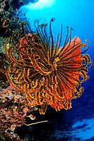 Crinoid in Coral Reef, Kimbe Bay, New Britain, Papua New Guinea