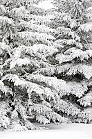 snow covered evergreen trees, calgary, alberta, canada