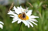 daisywheel and bee