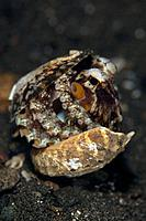 Octopus hiding in Shell, Octopus marginatus, Komodo, Indonesia