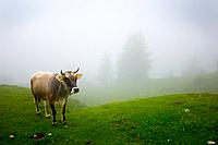 a cow in a pasture in the fog, veneto italy