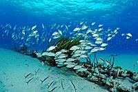 School of Cottonwick Grunts over sunken chain, Haemulon melanurum, Atlantic Ocean, Bahamas
