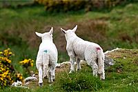 rear view of two lambs looking out over a cliff, northumberland england