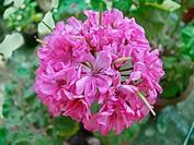 Pink pelargonium zonale