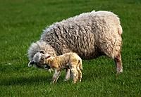 a sheep with her lamb, northumberland england