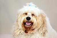 a white dog with a blue bow in it´s hair, portland oregon united states of america