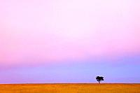 a lone tree against the horizon at sunset, kenya