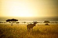 an antelope walks in the grassland at sunset, kenya