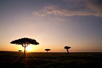 trees on the savannah with the sun glowing at sunset, masai mara kenya