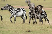 Burchell's Zebra, savannah, Masai Mara National Reserve, Kenya