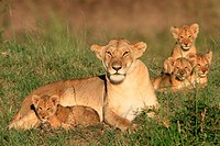 Lioness and cubs, Masai Mara Natonal Reserve, Kenya