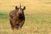 Black Rhino, Masai Mara National Reserve, Kenya.