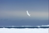 Snow Petrel Pagodroma nivea adult, in flight over pack ice, Antarctic Peninsula, Antarctica