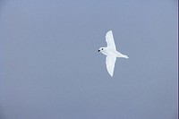 Snow Petrel Pagodroma nivea adult, in flight, Antarctic Peninsula, Antarctica