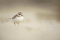 Ringed Plover Charadrius hiaticula adult, winter plumage, standing on beach, Shetland Islands, Scotland, september