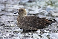 South Polar Skua Catharacta maccormicki adult, sitting on mud, Ronge Island, Antarctic Peninsula, Antarctica