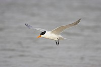 Royal Tern Sterna maxima adult, breeding plumage, in flight, Fort de Soto, Florida, U S A