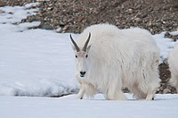Mountain Goat Oreamnos americanus adult, walking on snow, Yukon Wildlife Preserve, Yukon, Canada, april