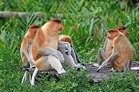 Proboscis Monkey Nasalis larvatus adult and immature males, group feeding at food platform, Labuk Bay, Sabah, Borneo, Malaysia