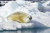 Crabeater Seal Lobodon carcinophagus adult, resting on ice floe, Neko Harbour, Antarctic Peninsula, Antarctica