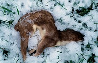 Stoat Mustela erminea dead adult, in snow, Derbyshire, England, winter