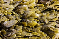 Bladder Wrack Fucus vesiculosus fronds, exposed on rocky shore at low tide, Brough Head, Mainland, Orkney, Scotland, june