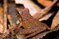 Slim-fingered Rain Frog Craugastor crassidigitus on the rainforest floor in the Osa Peninsula of Costa Rica