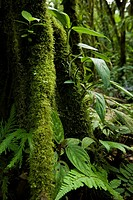 Moss, lichen, and ferns growing on the trunk of a tree in the primary cloud forest of Tenorio Volcano National Park, Costa Rica