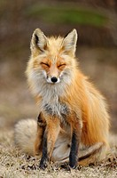 Red fox Vulpes vulpes Scratching an itch