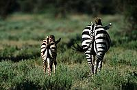 Zebra with Foal, Serengeti National Park, Tanzania, Africa