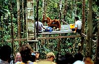 Feeding Orang_Utans at Orangutan rehabilitation center, Gunung Leuser National Park, Sumatra, Indonesia, Asia