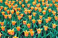 Lots of orange tulips