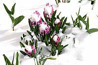 hyacinth Hyacinthus
