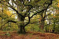 Old oak, nature reserve Urwald Sababurg at Reinhardswald, near Hofgeismar, Hesse, Germany
